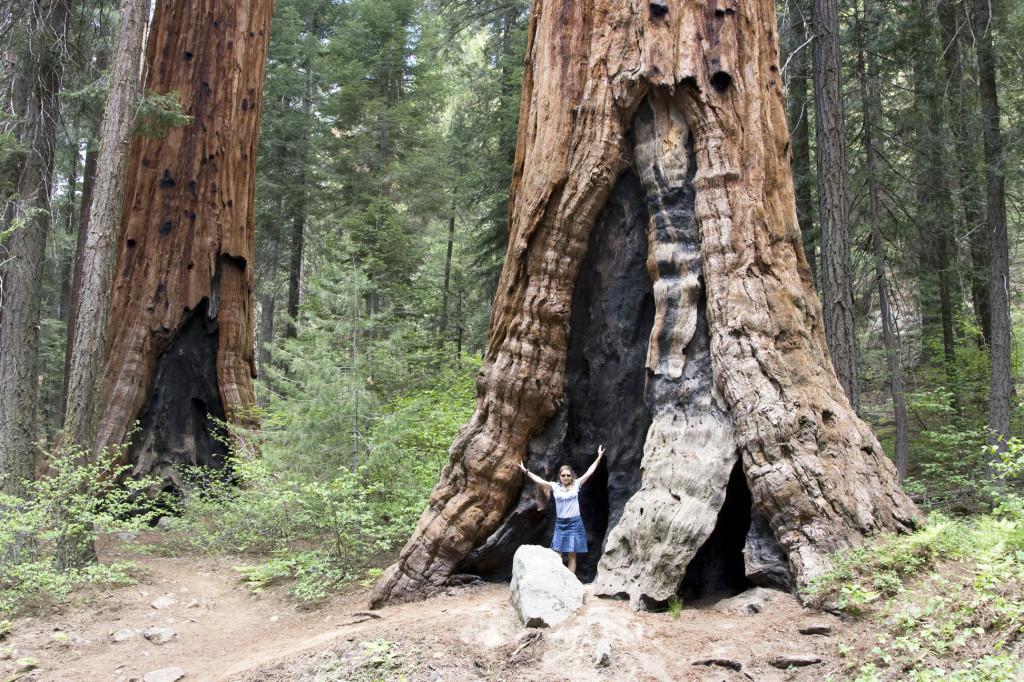 Вот они - гигантские секвойи! Диаметр этого дерева у основания - метров 6 как минимум!