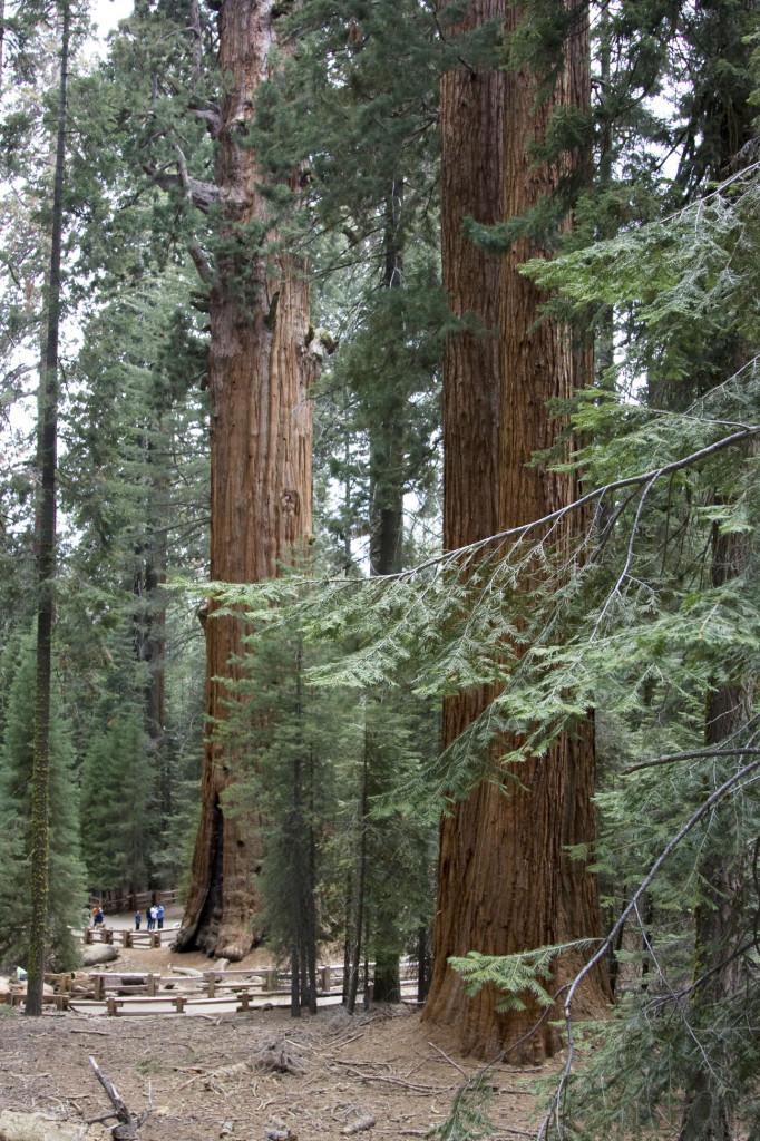 В гигантском лесу в окружении секвой