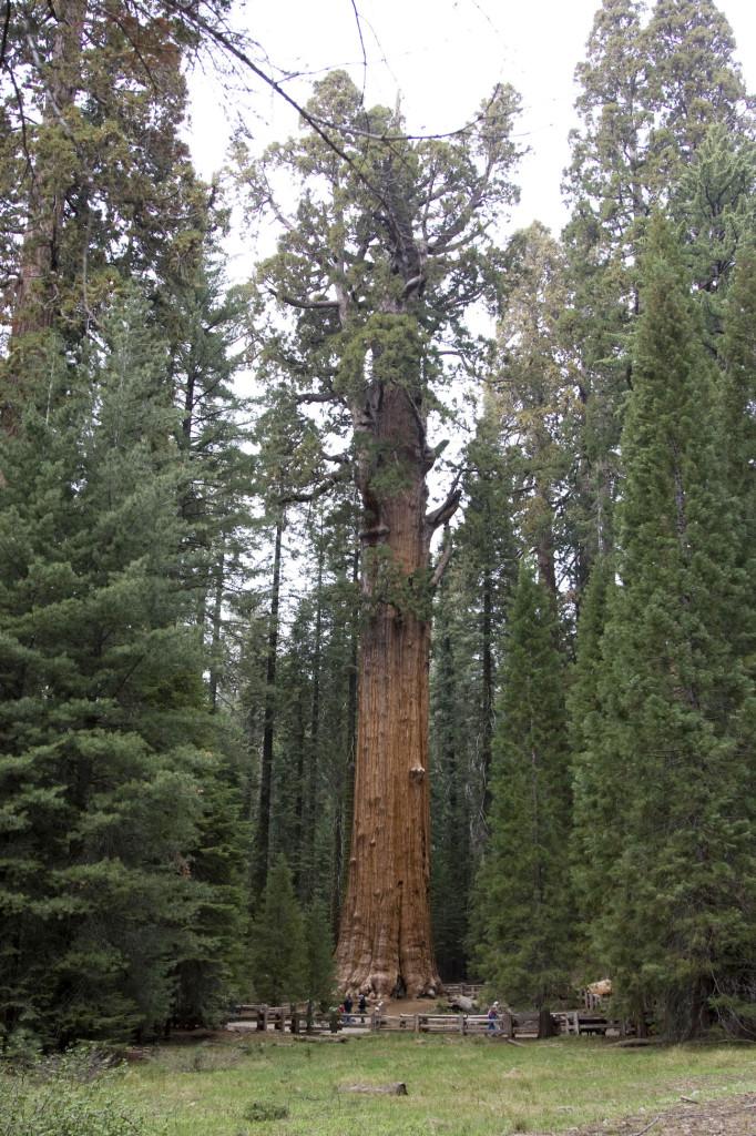 Генерал Шерман (General Sherman) - это самое большое дерево в мире