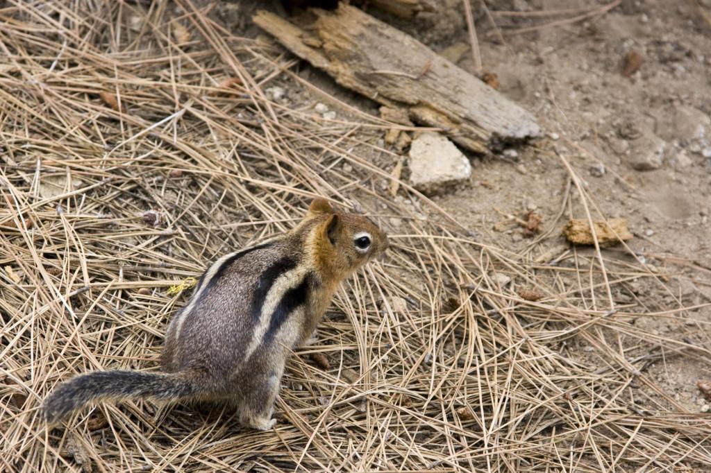 Порой в парке Секвойя встречаются полосатые бурундуки. Говорят, тут водятся даже медведи
