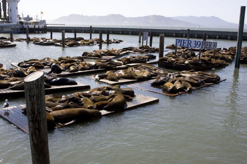 Пирс 39 облюбовали самые настоящие морские львы