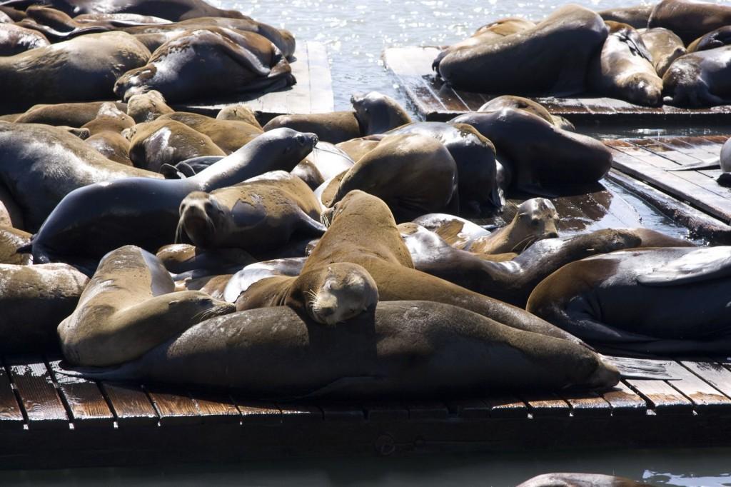 Спящие морские львы
