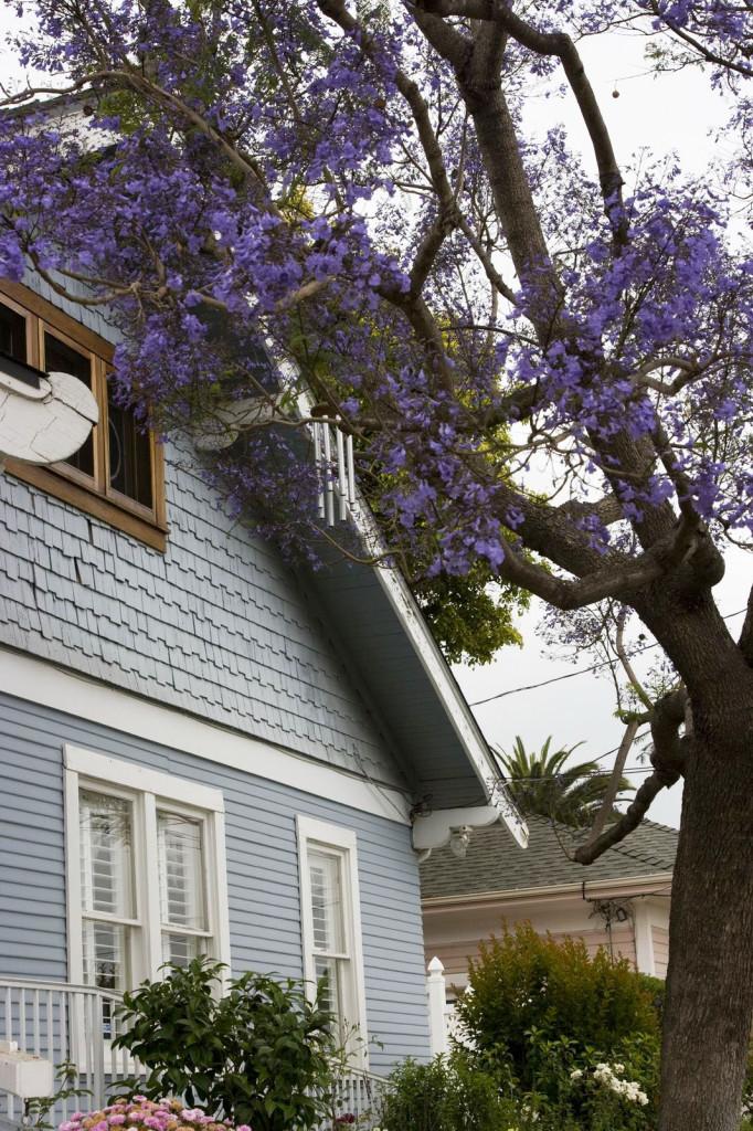 Дома в Санта-Барбаре оплетены синими акациями